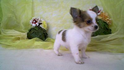16-01-2014-adoption-de-chihuahua.jpg