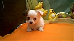 16-01-2014-chiots-chihuahua-a-adopter-1397a.jpg