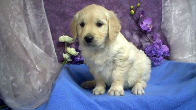 golden-retriever-pups.jpg