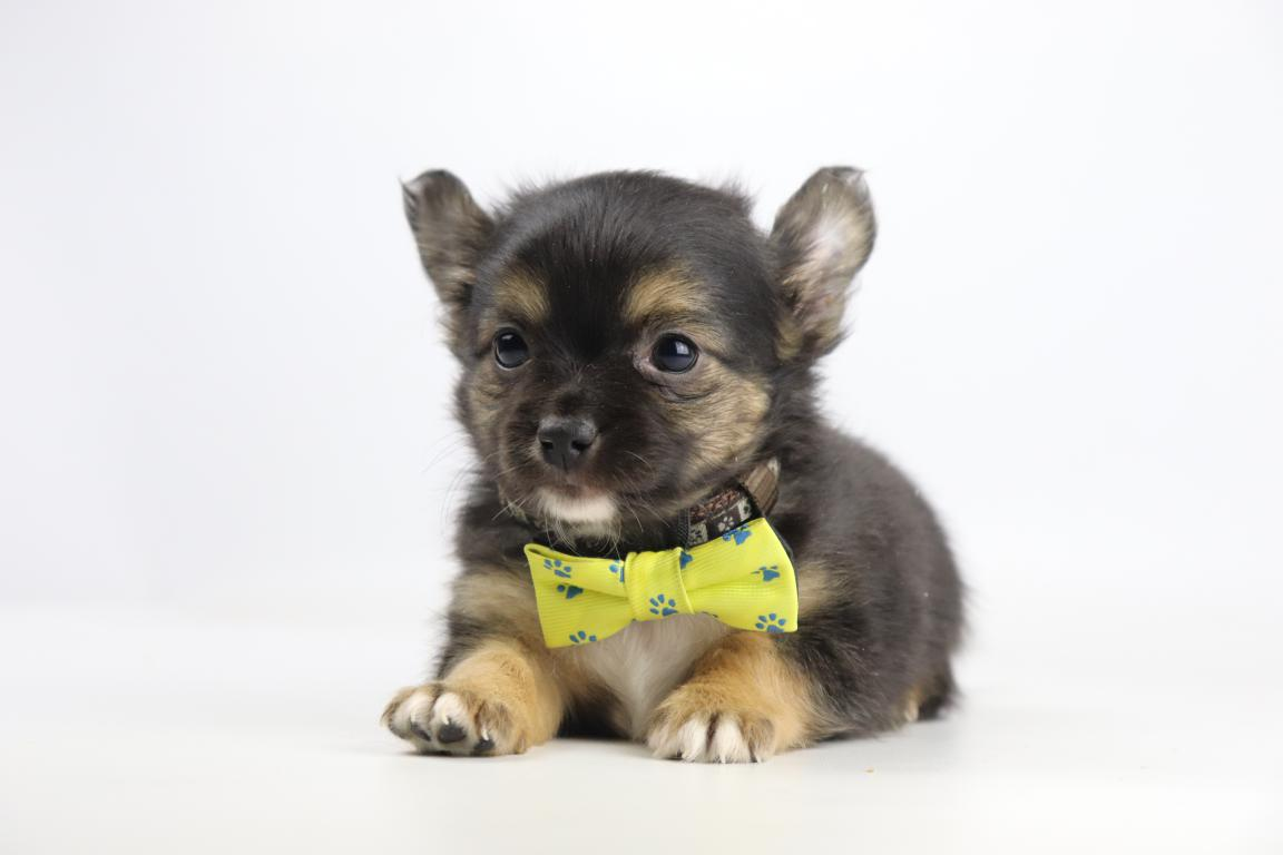 Chihuahua-reu-2078-1.JPG