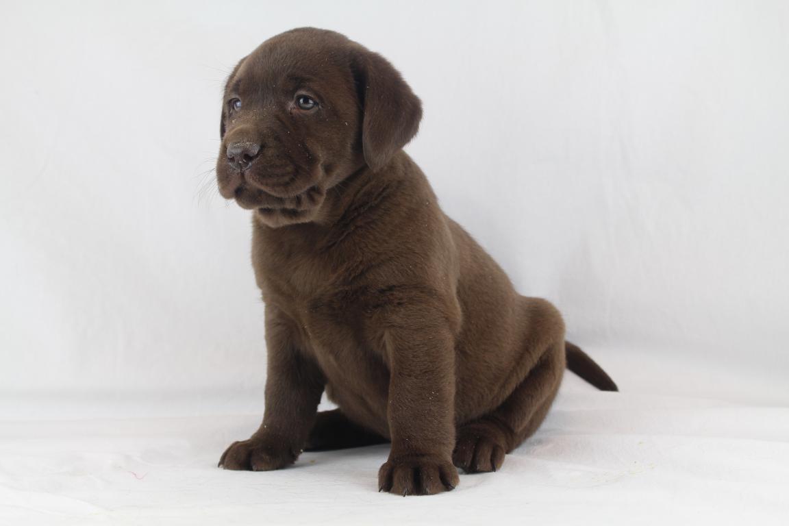 Labrador puppies te koop