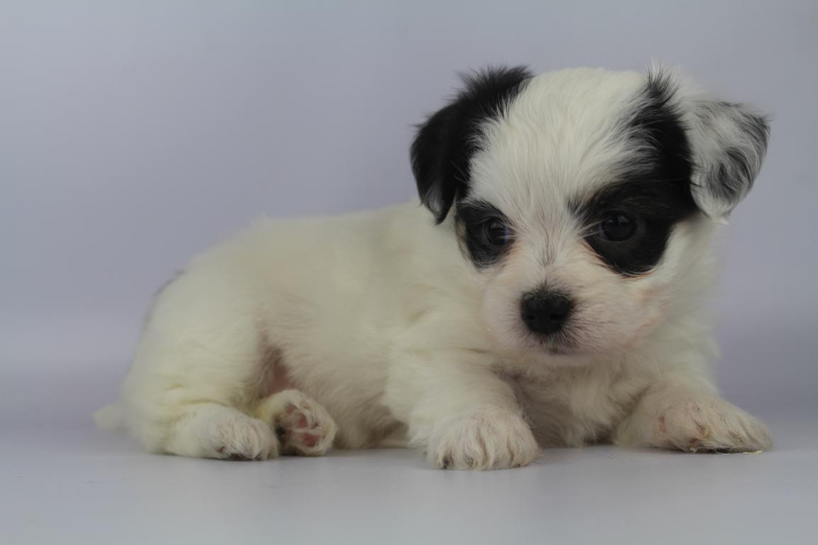 beschikbare puppy