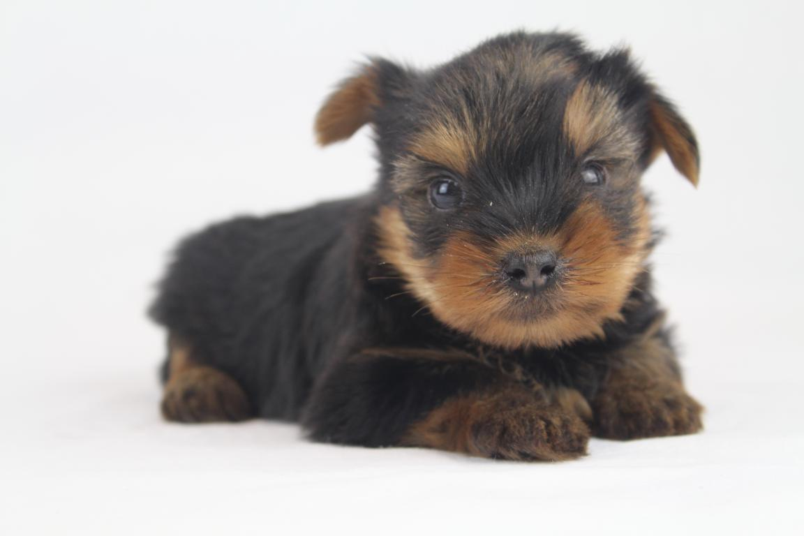Yorkshire terrier - Professioneel Belgisch York fokker - Woefkesranch