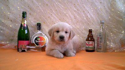09golden-retriever-pups-met-stamboom.jpg