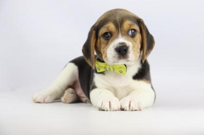 Belgische-Beagle-pups-te-koop-reu-2102-2.JPG