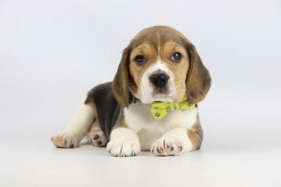 Belgische-Beagle-pups-te-koop-teef-2081-1.JPG