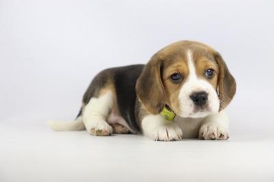 Belgische-Beagle-pups-te-koop-teef-2085-1.JPG
