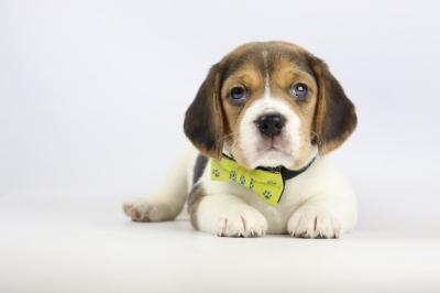 Belgische-Beagle-pups-te-koop-teef-2240-2.JPG
