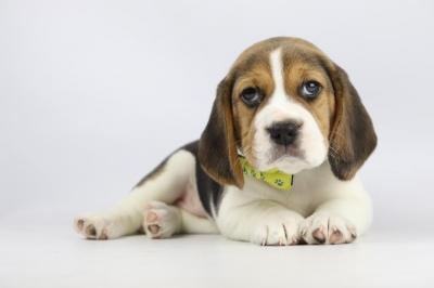 Belgische-Beagle-pups-te-koop-teef-2244-1.JPG