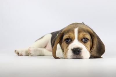 Belgische-Beagle-pups-te-koop-teef-2244-2.JPG