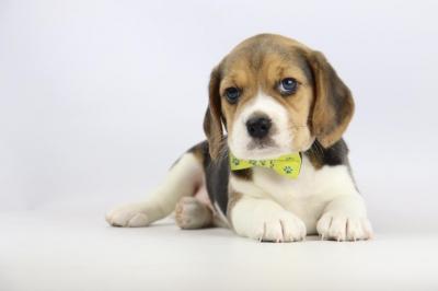 Belgische-Beagle-pups-te-koop-teef-2257-1.JPG