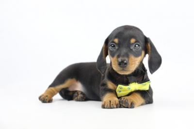 Belgische-pups-dwergteckel-teef-2019-1.JPG