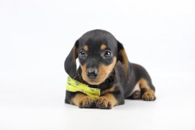 Belgische-pups-dwergteckel-teef-2019-2.JPG