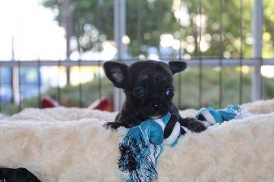Chihuahua-reu-1208-1_28Kopie29.JPG