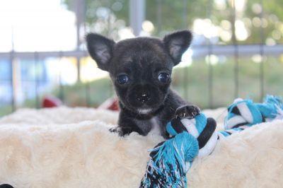 Chihuahua-reu-1208-2_28Kopie29.JPG