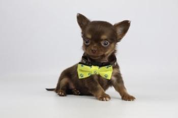 Chihuahua-reu-1953-1.JPG