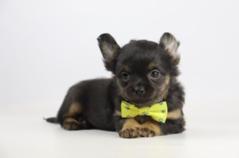 Chihuahua-reu-2002-1.JPG