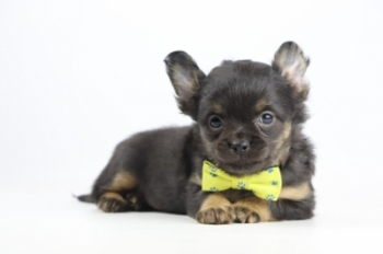 Chihuahua-reu-2002-2.JPG