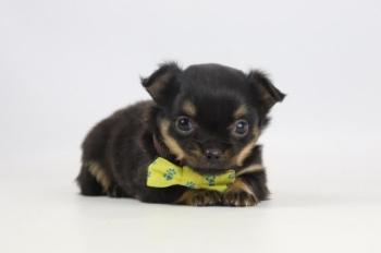 Chihuahua-teef-2303-1.JPG