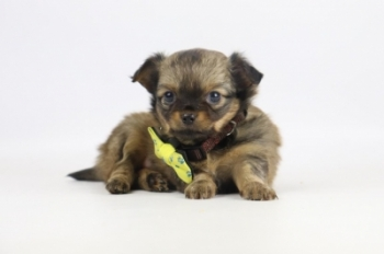 Chihuahua-teef-2315-1.JPG