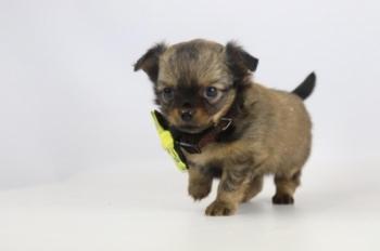 Chihuahua-teef-2315-2.JPG