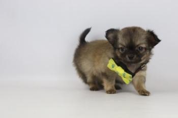 Chihuahua-teef-2334-1.JPG
