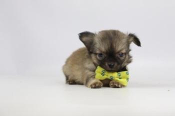 Chihuahua-Teef-2334-2.Jpg