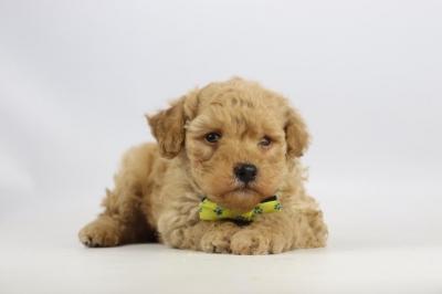Cockapoo-puppy-fokker-reu-2107-1.JPG