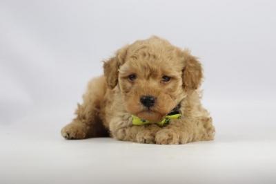 Cockapoo-puppy-fokker-reu-2107-2.JPG