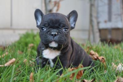 Franse bulldog kopen, pups te koop