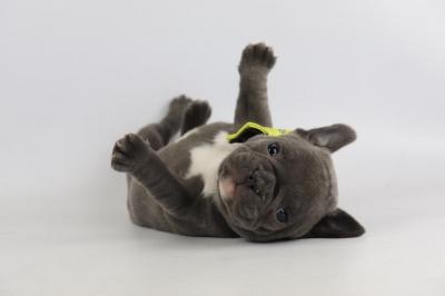 Franse-bulldog-reu-1936-3.JPG