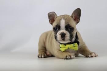 Franse-bulldog-reu-fawn-1412-1.JPG