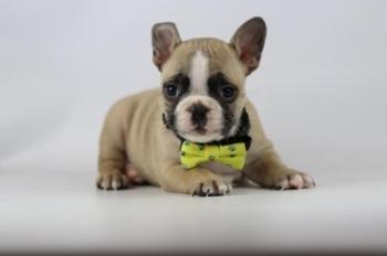 Franse-bulldog-reu-fawn-1412-2.JPG