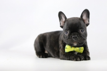 Franse-bulldog-reu-zwart-1440-1.JPG