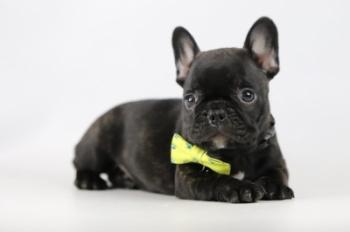 Franse-bulldog-reu-zwart-1440-2.JPG