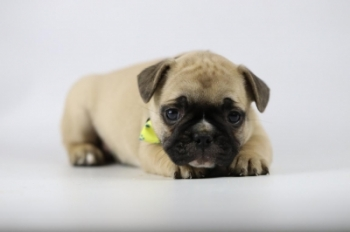 Franse-bulldog-teef-fawn-1339-1.JPG