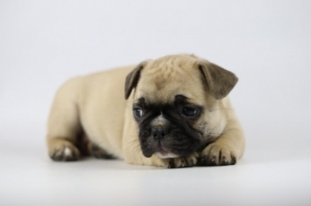 Franse-bulldog-teef-fawn-1339-2.JPG