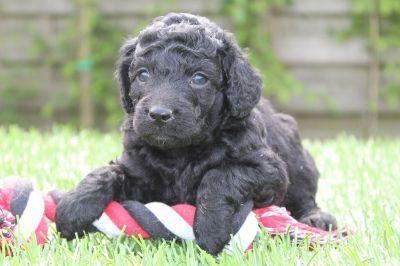 Labradoodle pup