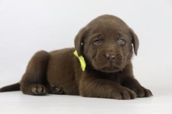 Labrador-Retriever-reu-3997-2.JPG