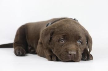 Labrador-Retriever-reu-4146-1.JPG