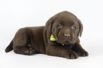 Labrador-Retriever-reu-4146-2.JPG