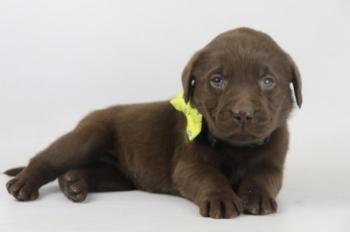 Labrador-Retriever-teef-4106-1.JPG