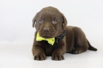 Labrador-Retriever-teef-4106-2.JPG