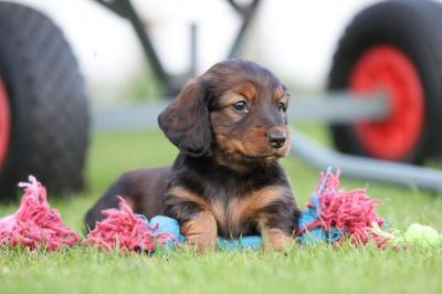 Langharige-dwergteckel-puppys-te-koop-teef-2330-2.JPG