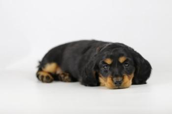 Langharige-Dwergteckel-Pups-Te-Koop-Teef-2256-1.Jpg