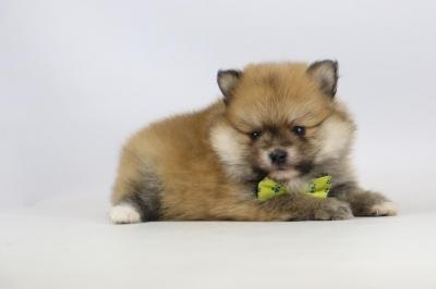 Mini-Pomeriaan-pups-te-koop-reu-2139-1.JPG