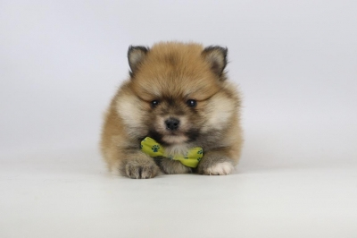 Mini-Pomeriaan-pups-te-koop-reu-2139-2.JPG