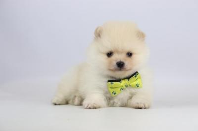 Pomeriaan-puppy-te-koop-reu-2300-1.JPG