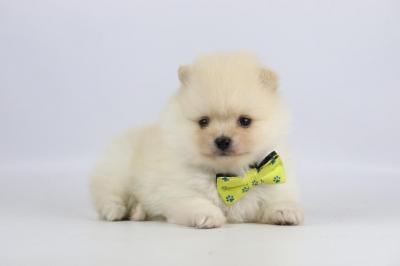 Pomeriaan-puppy-te-koop-reu-2300-2.JPG