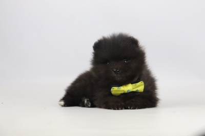 Pomeriaan-puppy-te-koop-teef-2311-3.jpg